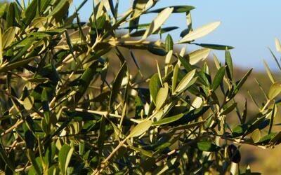 Moderne tecniche di gestione della chioma; corrette modalità di gestione del suolo e fertilizzazione dell'oliveto e difesa