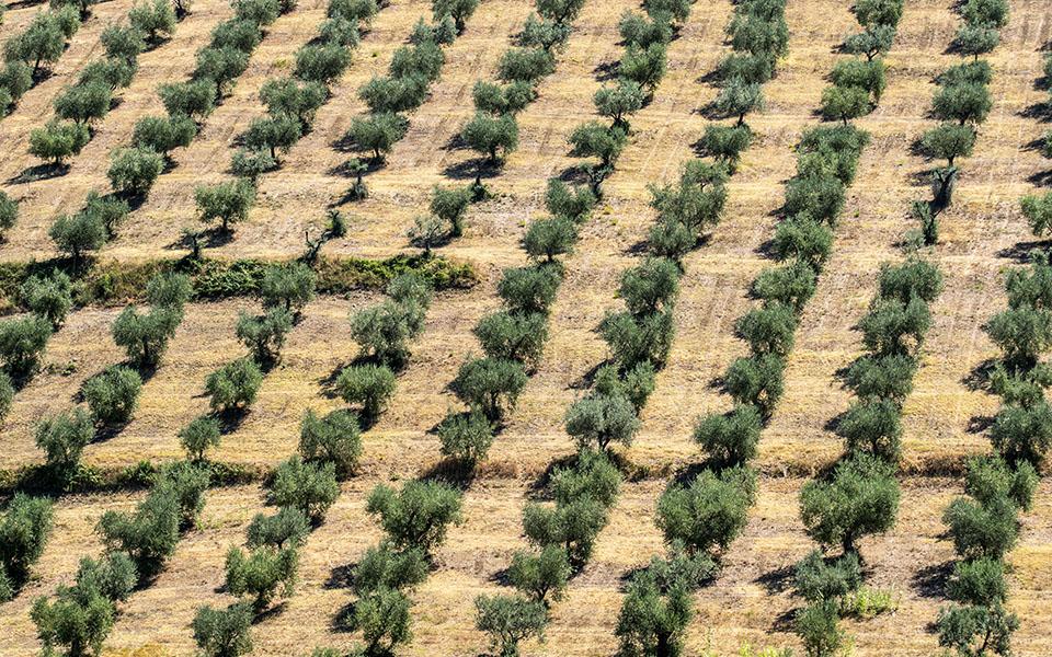 Sistemi agroforestali applicati all'olivicoltura