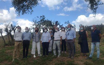 Come rivivono gli oliveti abbandonati: Saccardi alla cooperativa Montalbano a Lamporecchio